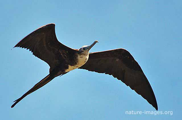 Frigatebird Picture Panama