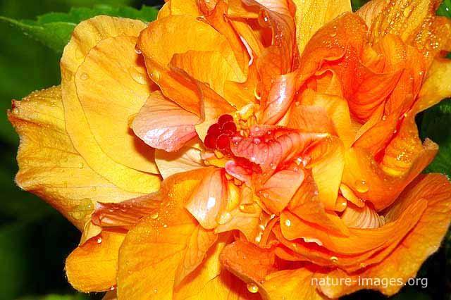 Hibiscus flower yellow