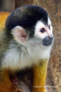 Squirrel Monkey Picture