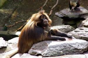 Gelada Monkey photo taken a the zoo in Zurich