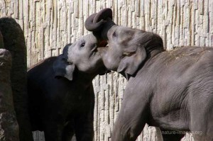 Two young Asian elephants paying