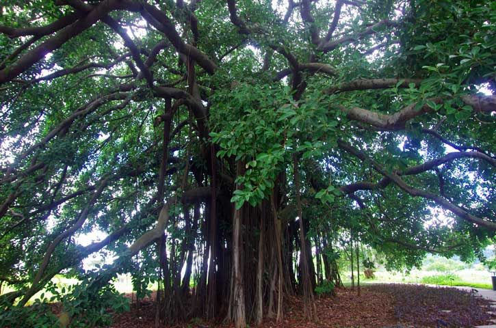 Ficus aurea – Strangler fig tree – Nature-images.org