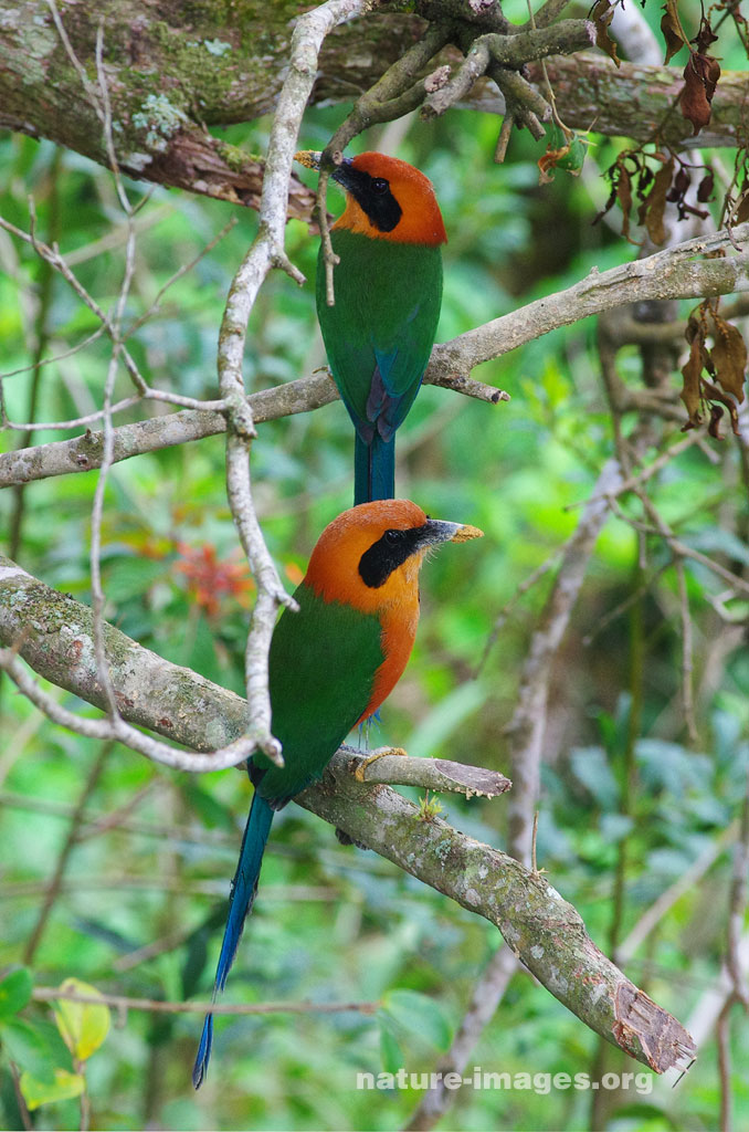 Rufous motmot pair taking a rest from digging their tunnel nest