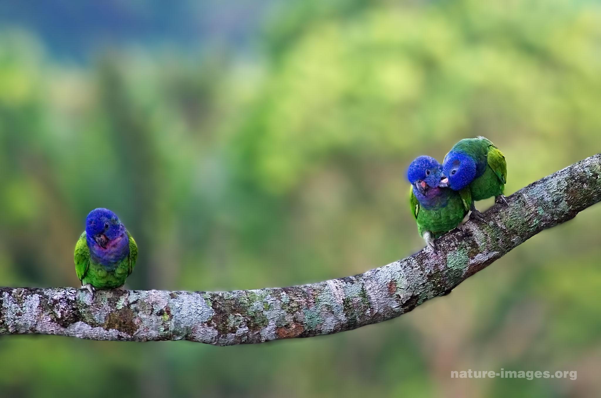 Blue Headed Parrots