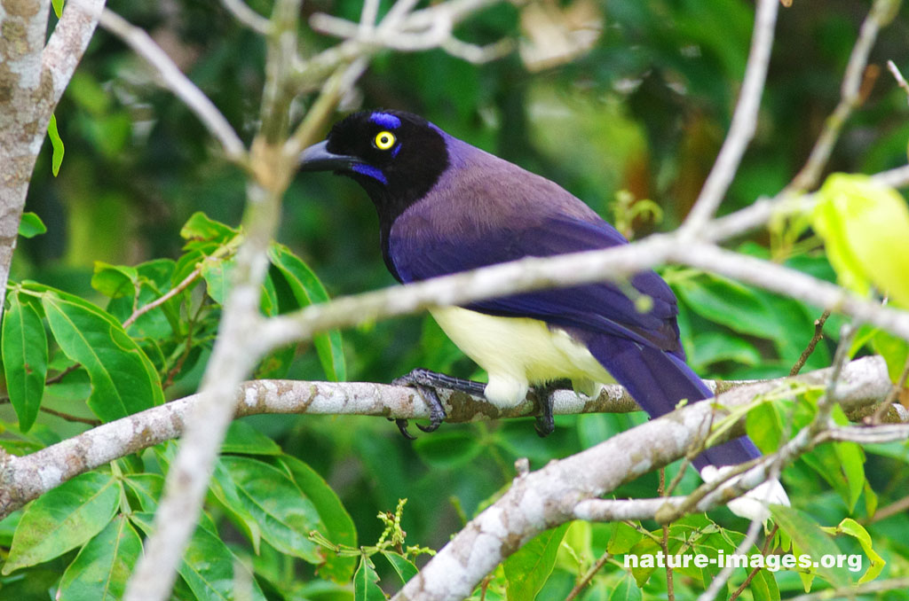 Black chested jay (Cyanocorax affinis)