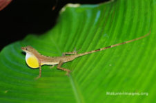 Lizard with yellow dewlap