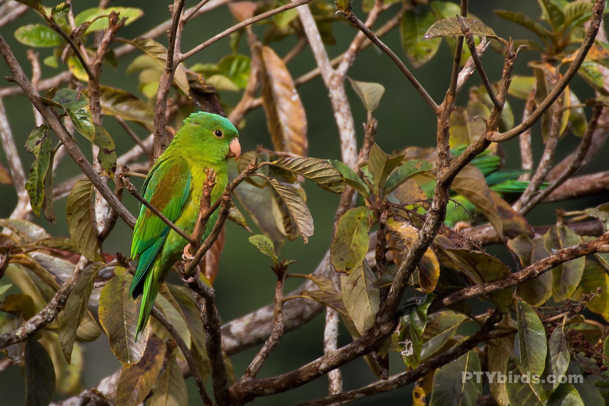 Orange chinned Parakeet