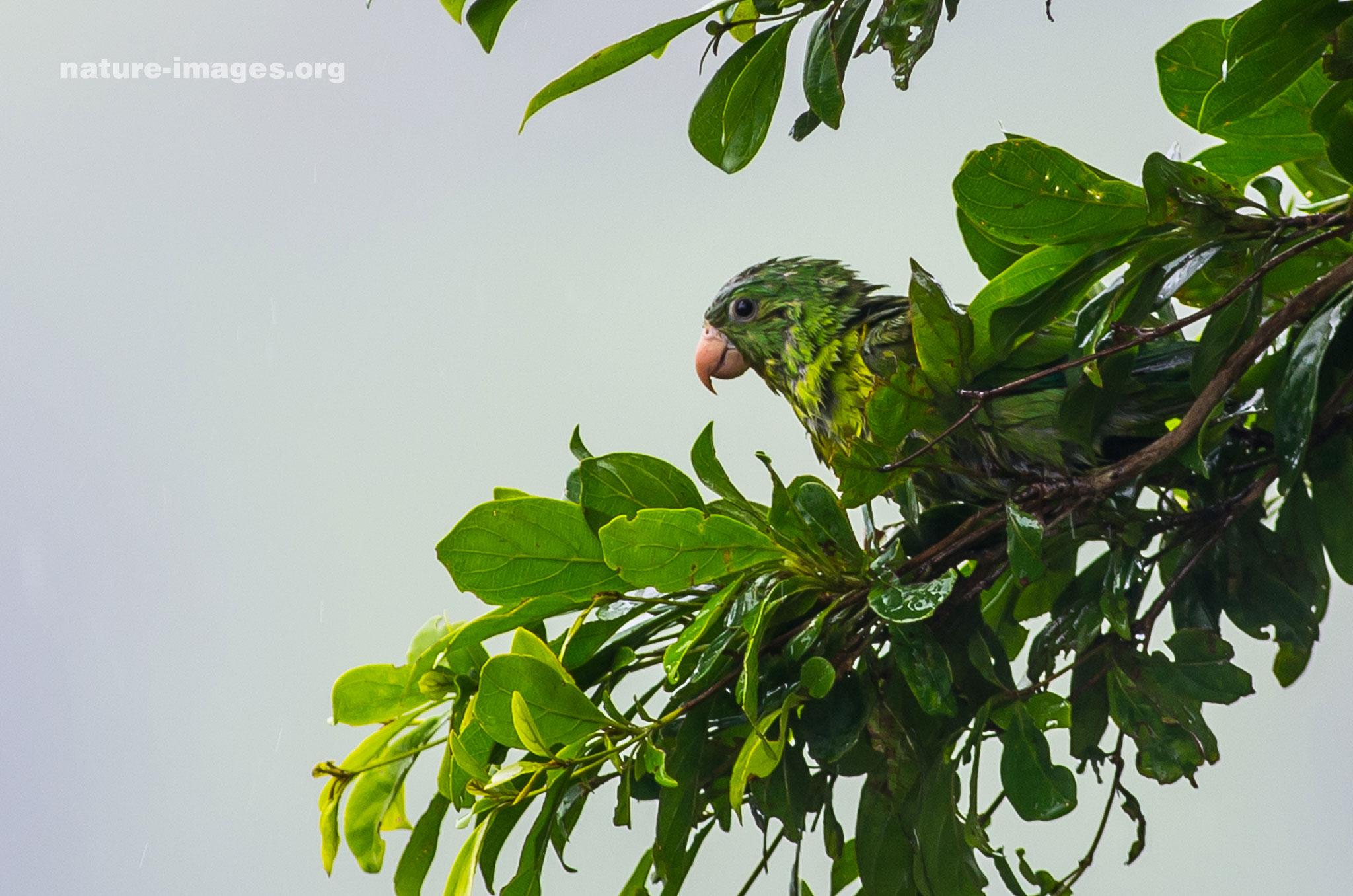 Orange chinned Parakeet in the rain
