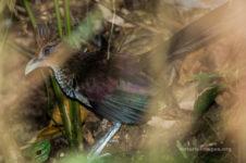 Rufous-vented ground cuckoo