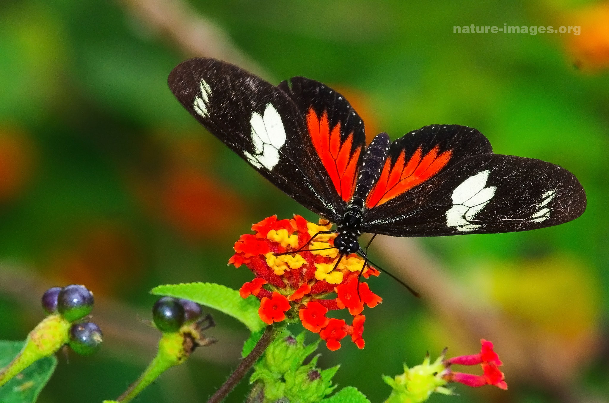 Butterfly Images from Panama