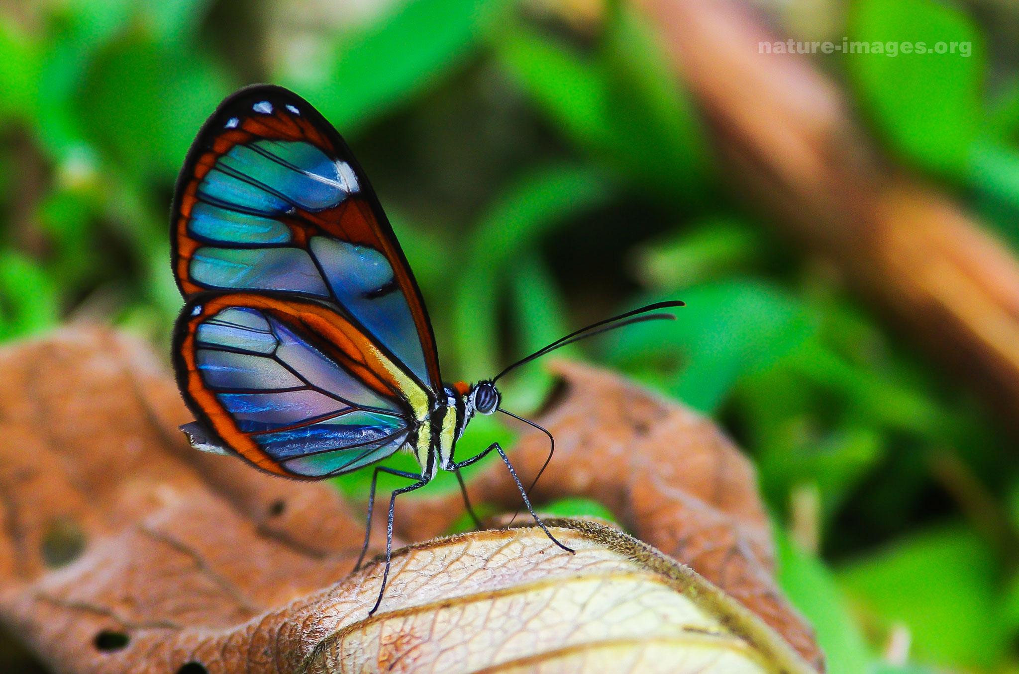 Glasswinged butterflies
