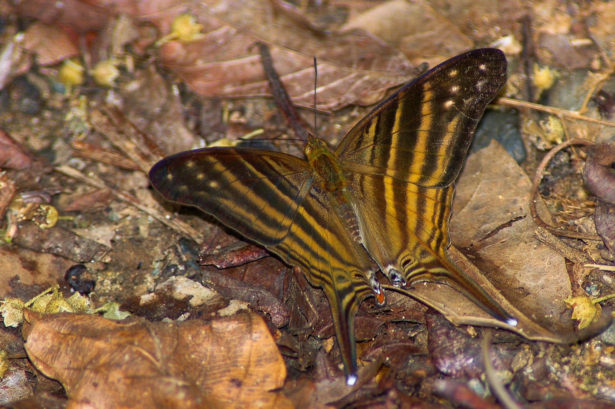 Marpesia alcibiades nymphalidae