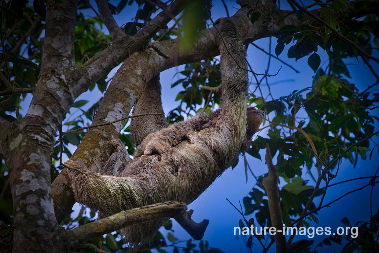Brown-throated three-toed sloth with baby